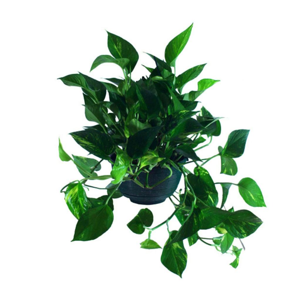 Devils Ivy (Pothos)