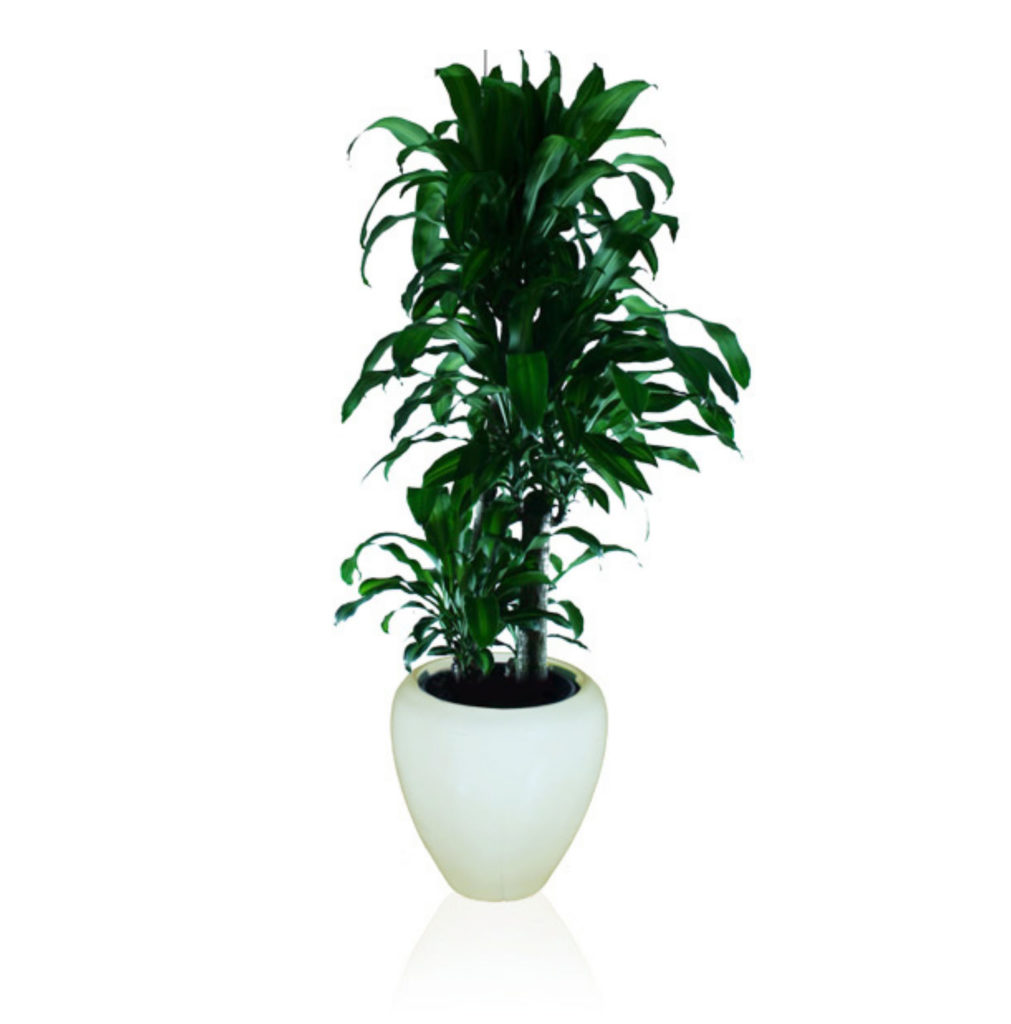 Happy Plant (Dracaena Massangeana)