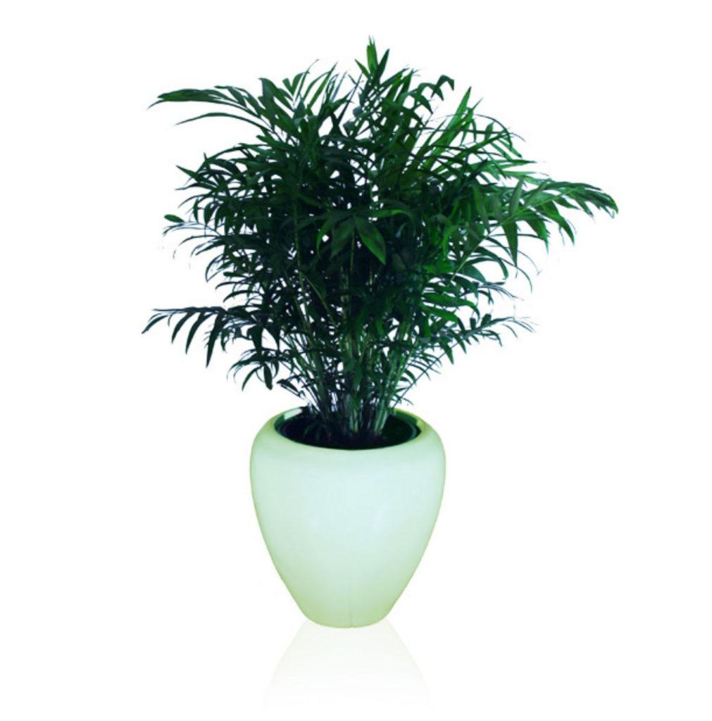 Parlour Palm (Chamaedorea Elegans)
