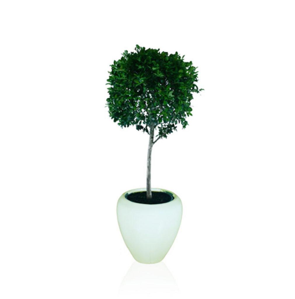 Topiary - 1m